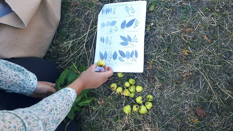 pears Armenia