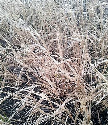 Shirak marz seeds