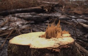 felled trees